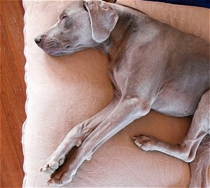 Cutter loves his Abundant Earth Organic Cotton Dog Bed!