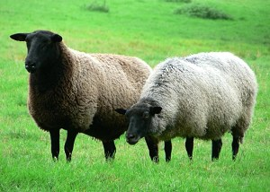 Happy Sheep producing pure wool for AbundantEarth.com!